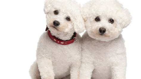 puppy dogs poodle characteristics temperament grooming and pictures inspirationseek