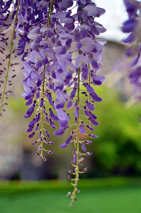 getting wisteria to bloomm nikon 35mm f 1 8 lens 171 traveljapanblog
