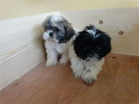 shih tzu puppies for sale stoke on trent pedigree beautifull tiny shih tzu puppies stoke on trent staffordshire