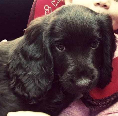 14 week puppy gorgeous working cocker spaniel 14 week puppy faringdon oxfordshire pets4homes