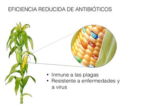 alimentos transgenicos ventajas  desventajas