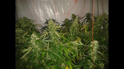 armario de cultivo de marihuana maconha indoor  seguimiento youtube