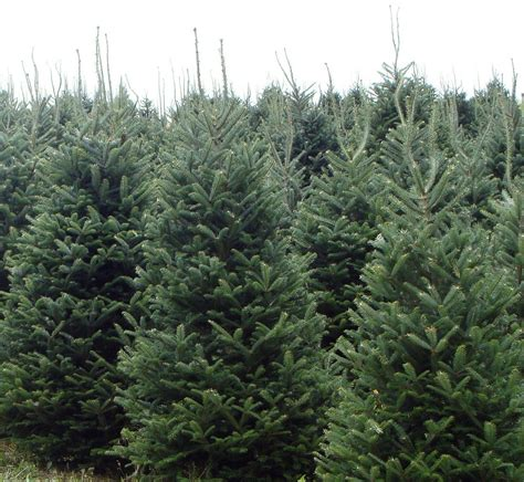 fraser fir photo gallery