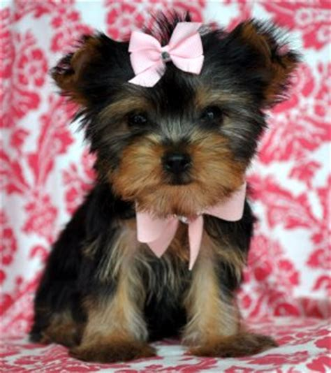 teacup yorkie haircuts pictures i want her sooooooooo bad think i can convince robert