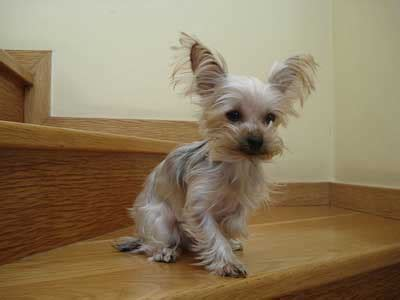 how to groom a yorkie puppy how to groom terrier