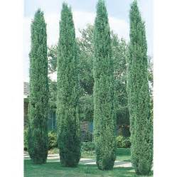 How To Decorate Your Home With No Money shop 6 09 gallon italian cypress l3291 at lowes com