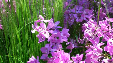 mlewallpapers com pink phlox and grass