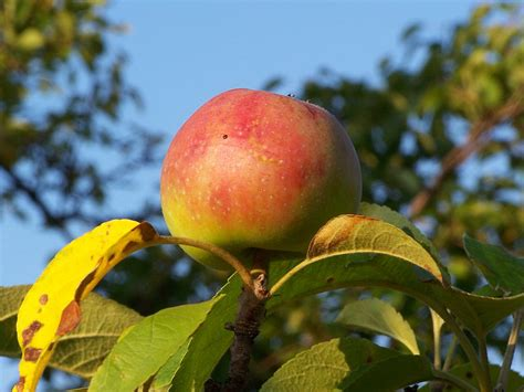 a fruit that doesn t an a in it oztorah 187 archive 187 was it really an apple ask the