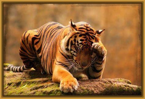 imagenes fondo de pantalla tigre fondos de pantalla de tigres de bengala para bajar