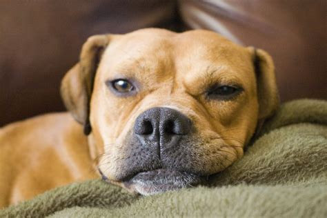 laziest dogs lazy by rezareesh on deviantart