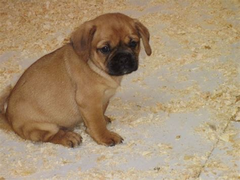pug cross cavalier for sale cavalier cross pug swansea swansea pets4homes