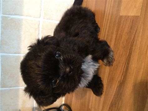 large shih tzu shih tzu puppies for sale portland dorset pets4homes