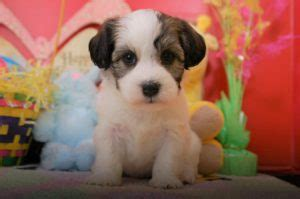 best food for havanese puppies havanese puppies for sale royal flush havanese