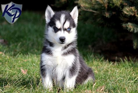 husky puppies for sale pa coby siberian husky puppies for sale in pa keystone puppies siberian husky