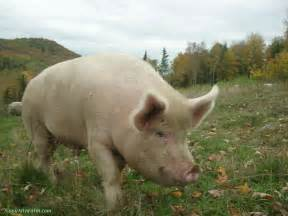 pig animal wildlife