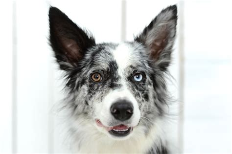 dogs with different colored gorgeous dogs with two different colored pet comments