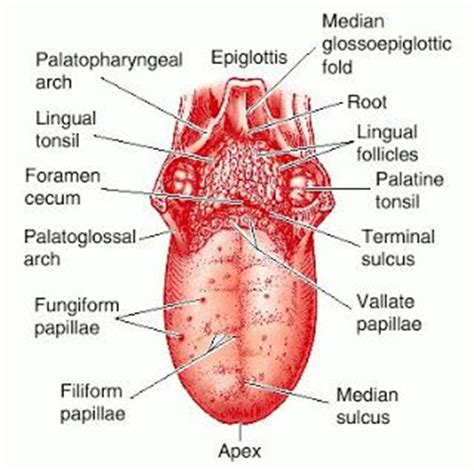 labelled diagram of the tongue labeled diagram of the human tongue the human tongue is