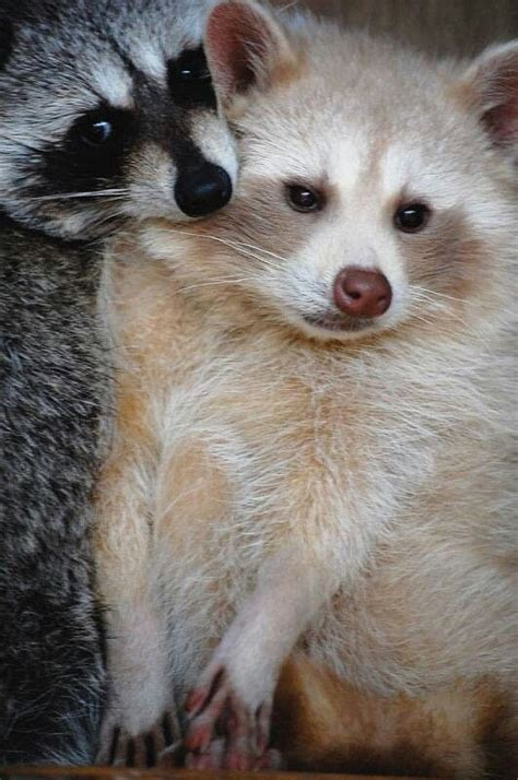 what color are raccoons racoons one is a normal masked color the other one is a