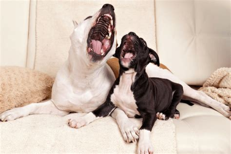 what does it when dogs yawn why do dogs yawn the contagious yawn in