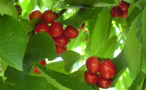 berries cherries and a beetle infestation labor of