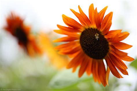 Sun Flower Overall 1 the power of f 1 4 bee on orange sunflower