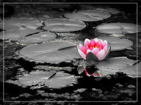 fiore loto la natura nel cassetto la purezza fiore di loto