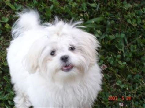 shih tzu cross maltese puppies maltese cross shih tzu