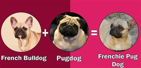 frenchie cross pug top 10 cross breeds designer of pug by dogmal