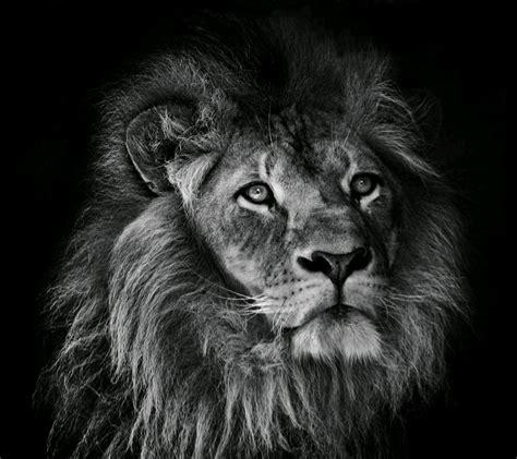Monochrome Big wallpaper animals nose big cats whiskers roar