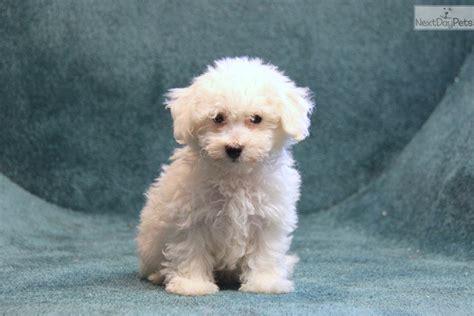 bichon frise puppies for sale near me bichon frise puppy for sale near lancaster pennsylvania 675a8189 7031