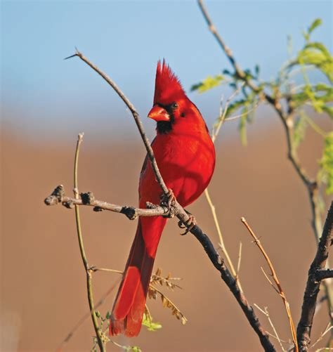 cardinal flying into window www pixshark com images