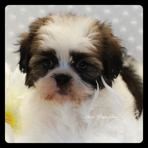 brindle and white shih tzu shih tzu m brindle white sold pups