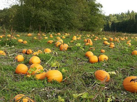 Pumpkin Garden by Picture Of Pumpkin Plant Www Pixshark Images
