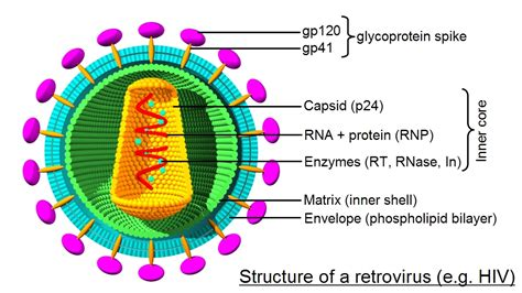 hiv virus diagram rna viruses