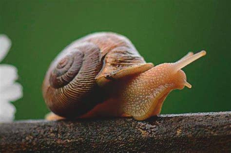 el caracol despistado que 191 qu 233 comen los caracoles