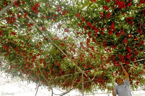 Sadly Tomatoes Are Not In Season Right Now by 1000 Images About Vine Shade On Tomato Season