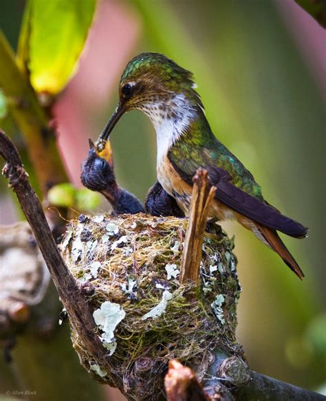 feather tailed stories hummingbird babies