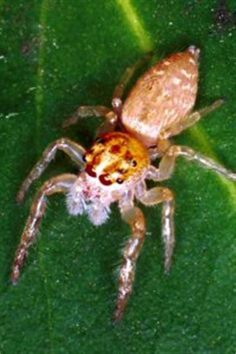 Common Backyard Spiders by Spiders Of Australia With Information And Pictures