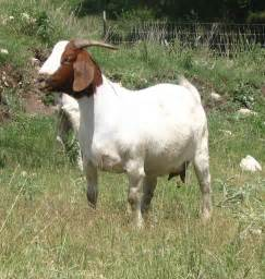 goat pictures images photos