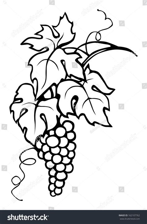 drawn grapes grape leaf pencil and in color drawn grapes drawn leaves vine leaf pencil and in color drawn leaves