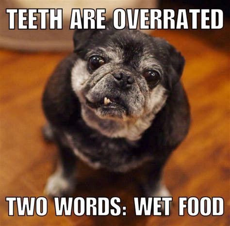 pug teeth 15 senior dogs dropping words of wisdom like only the elderly can barkpost