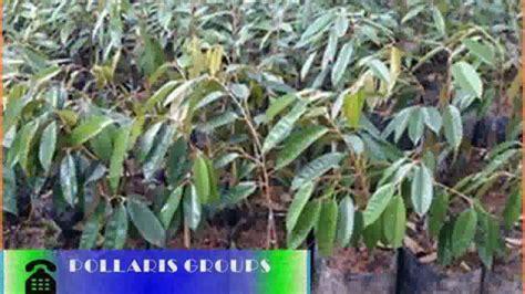 Bibit Durian Musang King Kaki 1 bibit durian musang king bogor bibit durian musangking