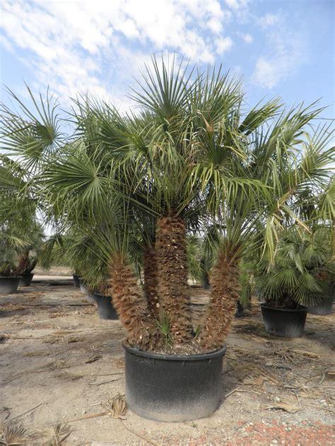 California Palm california palm trees california southern california