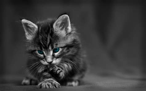 cat wallpaper grey maine coon kitten dark grey hd cat wallpaper