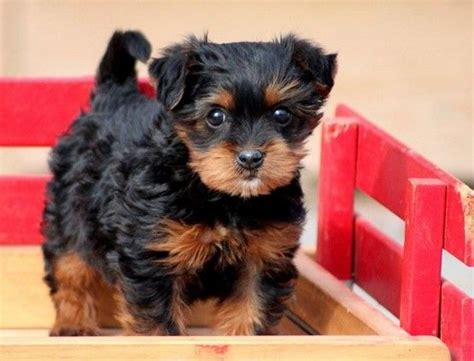 yorkies cheap yorkie poo puppies cheap cutest things