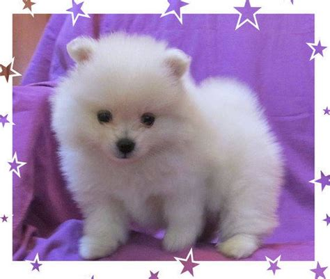 pomeranian puppies for sale florida quality teacup and pomeranian puppies for sale adoption from brandon florida