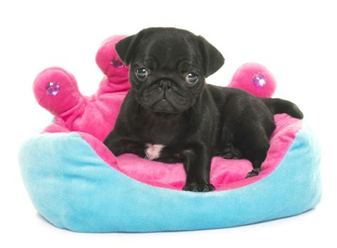 are teacup pugs real the real information about teacup pugs you can t afford to miss