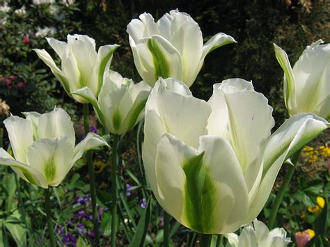 Bibit Bunga Tulip Di Indonesia flowers