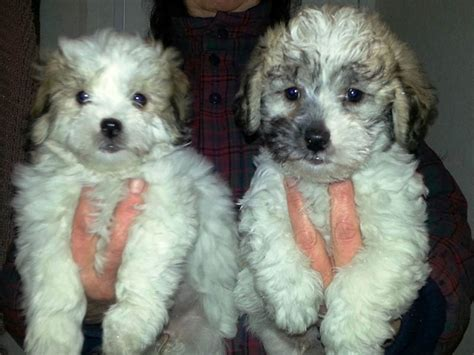 maltese poodle lifespan shih tzu cross poodle 1001doggy