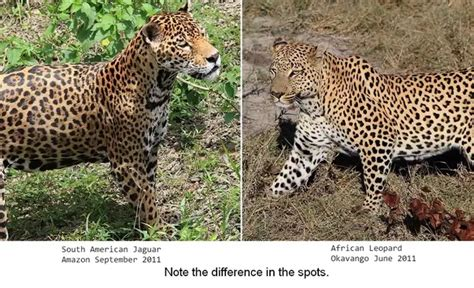 difference between jaguar leopard and panther what s the difference between cheetahs cougars jaguars
